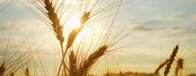 Getreideäre auf Feld