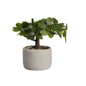 "ASA Selection ""bonsai"" Ficus"